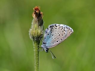 Large Blue (Glaucopsyche arion)