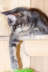 Gata Chantalle s (6) (adopcionesfelinasvalencia) Tags: gata chantalle