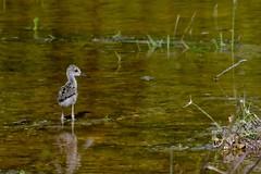 Baby Black Neck Stilt (bmasdeu) Tags: wading birds black neck stilt bns baby bird water wetlands nest spring