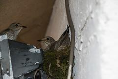 _DSC0397 (artheole62) Tags: france nikon nikond5300 d5300 105mm photo photography nature naturepics bird birds birdwatching noperson