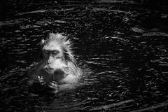 Funny bathing (grundi1) Tags: sony sonya68 alpha 68 ilca japanmakaken landskron kärnten carinthia sigma1770f2845dcmacro sigma macaca japanese 1770 f2845 dc macro wasser water schwarzweis scharz weis blackandwhite black white bw f 2845 ds schwarz