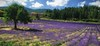 Lavender Field (Eric@focus) Tags: greatphotographers lavender provence rows tree color 3000v120f