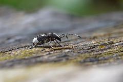The Fungus Weevil ... Platystomos albinus (AndyorDij) Tags: fungusweevil platystomusalbinus insect bokeh focus weevil england rutland uk unitedkingdom 2017 andrewdejardin spring kettoncementworks kettonquarry kettonquarrynaturereserve ketton