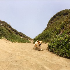 #buddyciancithedog meets the beach. (seanflannagan) Tags: buddyciancithedog fortfunston beach coast dog rescuedog sand