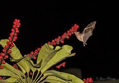 Pallas's long-tongued bat - Glossophaga soricina (J Centavo) Tags: pallass longtongued bat glossophaga soricina lima peru miraflores san ysidro