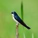 Beautiful Tree Swallow