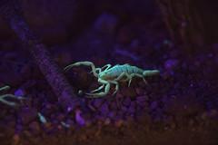 DSC_3841 (Lucid Pixels) Tags: scorpion glow dark