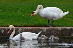 Swan family (Tsukareta170) Tags: swan bird animal nature wildlife outdoor family cygnet chick baby water