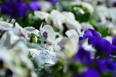 Morning pansies (dfromonteil) Tags: fleurs flowers macro bokeh plant plantes nature blue white green vert bleu colors couleurs spring printemps light lumière gouttes dew rosée