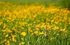 Abinger Hammer Common (Adam Swaine) Tags: surreyhills surrey meadows englishmeadows buttercups naturelovers nature englishlandscapes english england spring canon beautiful wildflowers flowers flora macro ukcounties riverbank