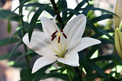 The aftermath of sorrow (Pensive glance) Tags: lily lilium lys fleurdelys flower fleur plant plante
