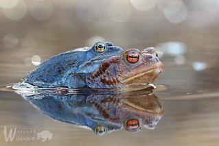 Fehlpaarung: Moorfrosch (Rana arvalis) x Erdkröte (Bufo bufo)