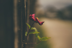 Survive (HFF) (Stefan (back from Scotland, but need some time)) Tags: hff happyfencedfriday happyfencefriday fencedfriday fence flower bokeh dof depthoffield shallowdepthoffield blur sonya7m2 sel85f14gm 85mm f14 dark darktones mood vsco