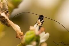 Moth - Adela sp. (IH Macro) Tags: mirco moth wildlife insectphotography wildlifephotography bugs closeup eyes
