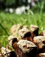 on the ground . . . II (C.Kalk DigitaLPhotoS) Tags: tannenzapfen pinecone macro makro closeup ontheground outdoor bokeh green grün braun brown