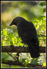 DSC_7839 SITO (torben84) Tags: corvidi corvi taccola cornacchia natura nature nikon d7200
