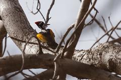 0550 Goldschulterspecht (m) - White-naped Woodpecker (uwizisk) Tags: goldschulterspechtchrysocolaptesfestivus india indien ranthambhorenationalpark whitenapedwoodpecker