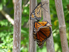 Monarch - Danaus plexippus - Harry P Leu Gardens 30Jul09 a (kerrydavidtaylor) Tags: lepidoptera nymphalidae danainae milkweed commontiger wanderer blackveinedbrown butterfly butterflies