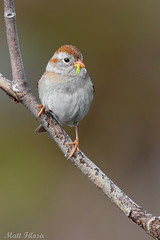 Field Sparrow With Inch Worm (Matt F.) Tags: field sparrow fieldsparrow vertical