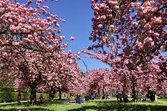 Hanami at Parc de Sceaux (Stephane Enten) Tags: hanami cerisiers sceaux
