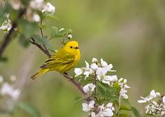 Yellow Warbler (swmartz) Tags: birds outdoors wildlife nikon nature newjersey mercercounty may 2017 warbler yellow