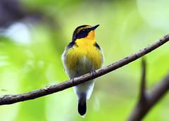 Brilliant yellow (ogawa san) Tags: narcissusflycatcher flycatcher hokkaido niseko japan bird wildbird woods forest キビタキ