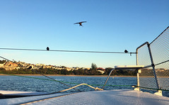 Welcome swallows. Coffs Harbour.