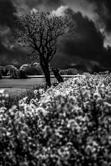 Tree in bad weather (AndreasNikon) Tags: tree summer skanecounty sweden clouds nikond600 nocrop nohdr day blackandwhite landscape ngc