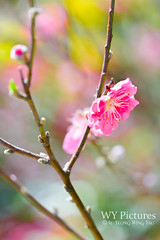 Plum blossom on spring day (Wing Yau Au Yeong) Tags: branch bright flora flower pink plumblossom spring sunlight