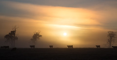 Frontiers (Keith Midson) Tags: sunrise fog tasmania sun cows bovine tree trees rural agriculture morning early