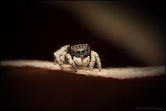Maratus vespertilio 3 (GTV6FLETCH) Tags: maratus peacockspider spider jumpingspider macro macrophotography manualfocus 5dmarkii 5d2 canonmpe65mm15xmacro mpe65mm mpe65 canon canoneos5dmark2