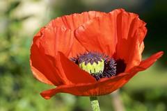 Poppy (picaddict) Tags: mohn papaverorientale poppy pluwig rheinlandpfalz deutschland