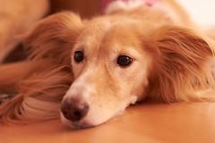 Faye.....a greyhound to fall in love with (karlgrabherr) Tags: sony alpha a7 alpha7 minolta minolta85mmf14d 85mmf14 dog greyhound animal animalphotography dogphotography tierfotografie tiere hund windhund hundefotografie