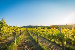 sidegrapes2 (36 of 1) (sassiitalytours) Tags: wine piemonte castle rodello langhe altalanga vino winetours
