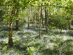Quietly (Lancashire Lass :) :) :)) Tags: countryside bluebell woods marleswood dinckley lancashire ribblevalley blue purple dappledlight trees fern nature may spring bluebells green