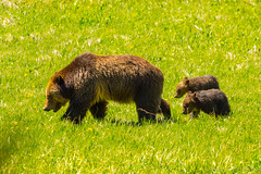 Staying close to Mom {Explored} (ChicagoBob46) Tags: grizz grizzly grizzlybear bear cub cubs yellowstone yellowstonenationalpark nature wildlife explore explored coth5