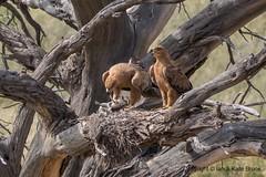 Return from the Hunt: The Tawny Eagle (Ian.Kate.Bruce's Wildlife) Tags: tawnyeagle aquilarapax accipitridae eagle bird wildlife nature ianbruce katebruce kalahari southafrica