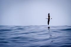 Black-browed Albatross (Explored) (AdeRussell) Tags: chile wildlife blackbrowedalbatross travel sea thalassarchemelanophris valparaíso regióndevalparaíso cl ocean