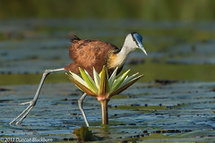 In the lily fields..... (Duncan Blackburn) Tags: 2013 africanjacana botswana chobe bird kasane nikon nature wildlife coth5 ngc sunrays5 npc