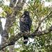 Crowned Eagle (Stephanoaetus coronatus), adult