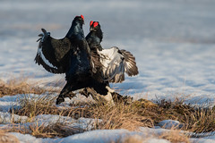 _DSC1520 (Guldenfels-photos) Tags: tetraslyres finlande neige snow black grouse finland spring
