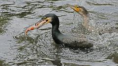 nur der schnellste fängt den Fisch (karinrogmann) Tags: kormoran greatcormorant cormoranocomune