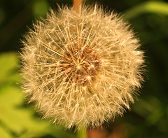 dandy poof (Kens images) Tags: dandelion season park spring nature canon 40d
