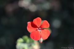The 5 petals of this Malva (roanfourie) Tags: flowers flower plant nature nikon d3100 nikkor 35mm bokeh macro red