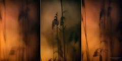 triade  (sussurri del vento) (swaily ◘ Claudio Parente) Tags: triade canneto sussurri orbetello nikon nikond500 swaily claudioparente