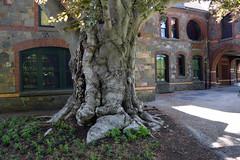 copper beech (ophis) Tags: fagales fagaceae fagus fagussylvatica europeanbeech copperbeech eustisestate 1426cantonavenue milton