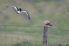 Short-eared owl 53 (brandugla) (Svenni and his Icelandic birds.) Tags: asioflammeus brandugla shortearedowl