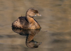 Pied-billed Grebe Gilbert water ranch az (mandokid1) Tags: canon canon500f4 1dx birds grebes arizona