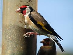 Goldfinch on the feeders in the garden. (stevencarruthers93) Tags: nature wildlife greenheart wigan wiganflashes wildlifephotography naturephotography springwatch