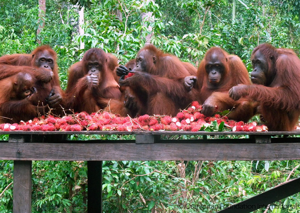 orangutan research paper In fact, the pulp and paper industry is the single largest consumer of water used in industrial activities in if you were in orangutan research paper northern our.